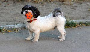 Hund spielt mit dem Ball